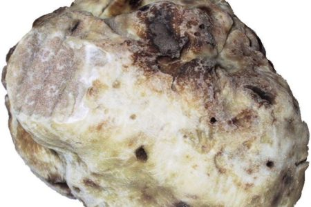 'Supersized' rare white truffle weighing 510 grams found in Greek mountains