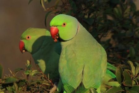 Green-feathered immigrant surge prompts Greek parakeet count