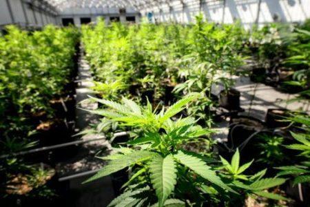 Greece gears up to approve medical marijuana program